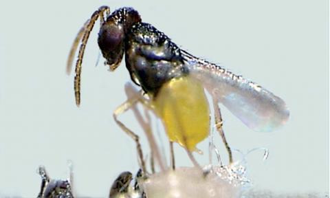 Weiße Fliege Schlupfwespe (Encarsia-formosa)
