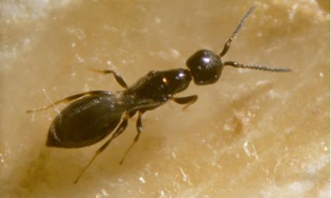 Getreideplattkäfer Ameisenwespchen
