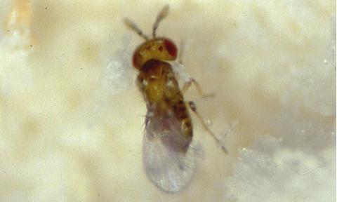 Biologische Beratung - Schlupfwespe gegen Lebensmittelmotten (Trichogramma-evanescens)