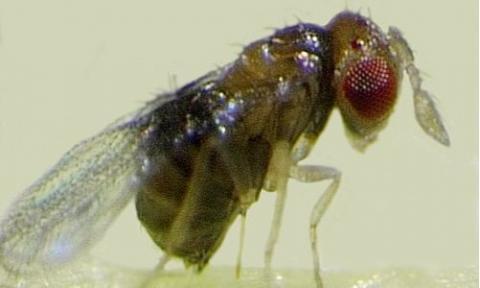 Apfelwicklerschlupfwespe (Trichogramma evanescens Weibchen)