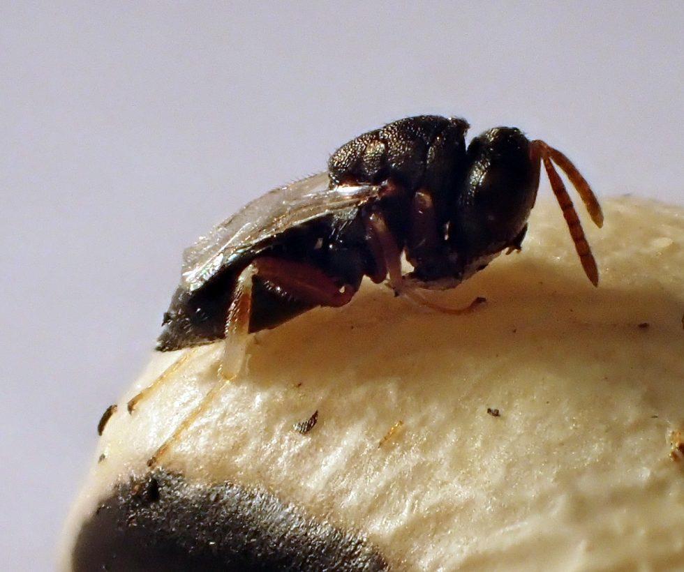 Bohnenkäfererzwespe natürliche Schädlingsbekämpfung